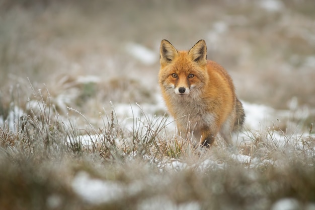 Red fox a in wintertime on a meadow with dry grass