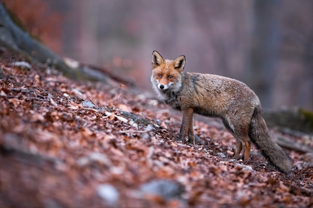 Red fox with beautiful long puffy tail posing in the autumnal nature