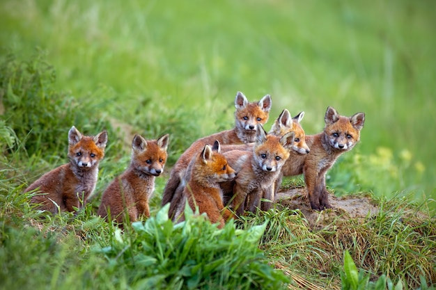 Red foxes on the green grass