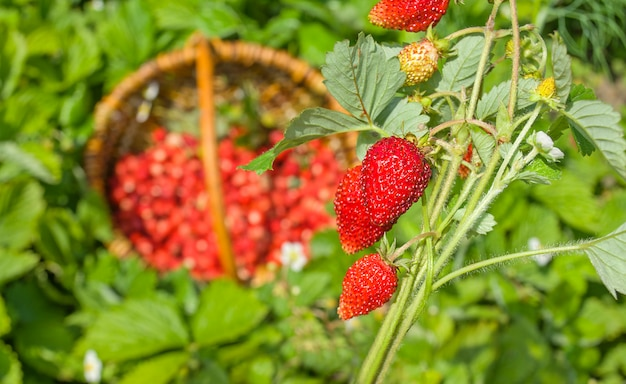Red fragaria or wild strawberries