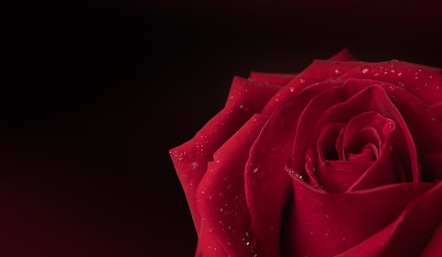 Red fresh rose with droplet on petal. flower symbol of  love and valentines day. closeup shot and dark tone