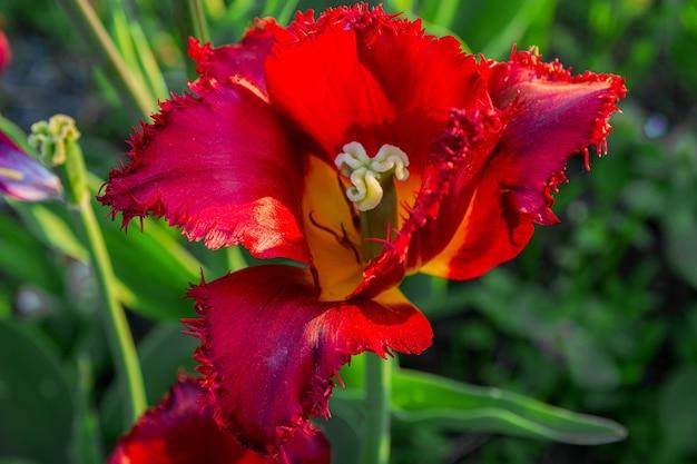 Red fringed tulip flower
