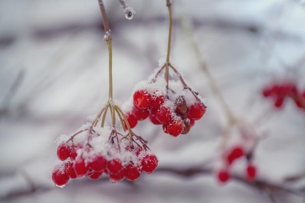 冬季の赤い冷凍ベリーガマズミ属の木