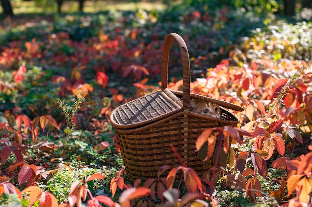 Red funny cat in a picnic wicker basket outdoor at weenend in autumn nature  with space for text