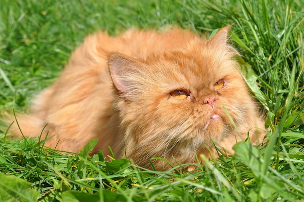 Red funny persian cat lying in the green grass
