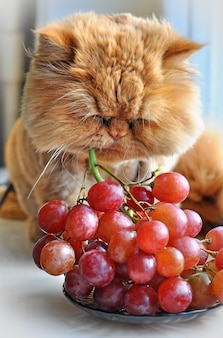 Red funny persian cat sitting on windowsill and eating red grapes