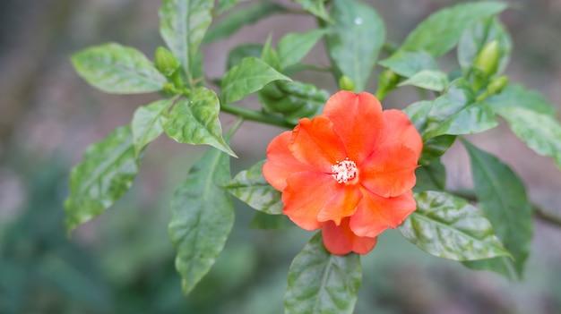 정원에서 빨간 gallica 장미입니다.