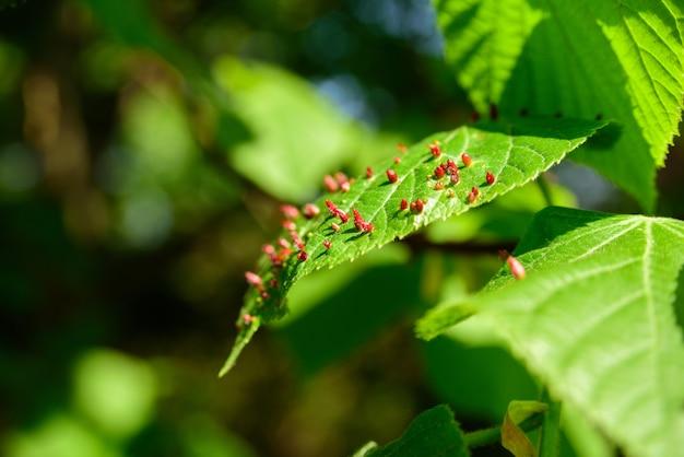 Red galls on tree leaf