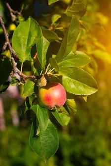 Красное садовое яблоко на ветке