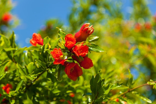 나뭇가지, 덤불, 석류 꽃에 붉은 가넷 꽃