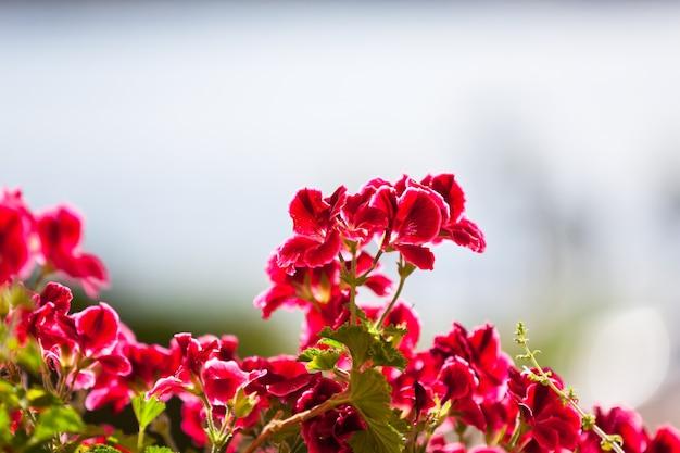 햇빛에 대 한 붉은 제라늄 꽃입니다. 가로 샷