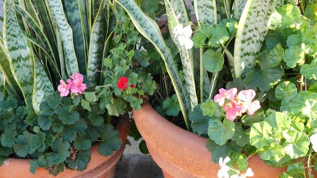 붉은 제라늄 꽃이 피고 천연 식물이 배경을 닫습니다. 스칼렛 펠라고늄 꽃 화분, 멕시코 정원, 미국 캘리포니아의 가정 정원. 생생한 식물. 생생한 육즙 식물 색상.
