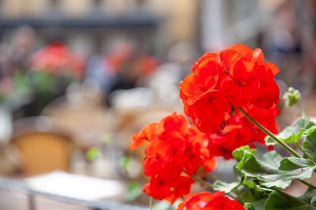Красные цветы герани крупным планом и кафе под открытым небом на площади сторторгет в стокгольме не в фокусе на заднем плане, швеция. городская сцена. малая глубина резкости!