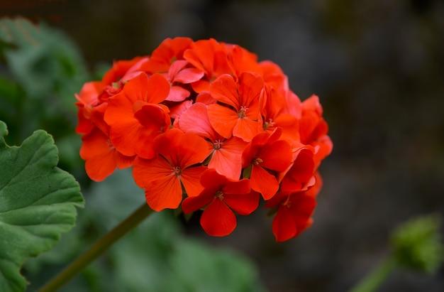 夏の庭の赤いゼラニウムの花をクローズアップ。ツタの葉のゼラニウム。花の背景。選択と集中。