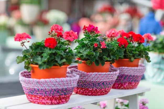 Красная герань в цветочных горшках.