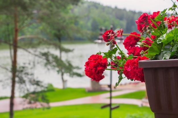 Красная герань в горшках на фоне озер