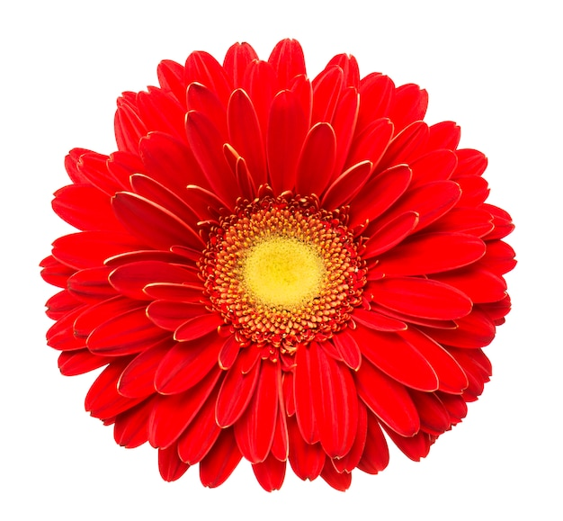 Красный цветок герберы на белом фоне