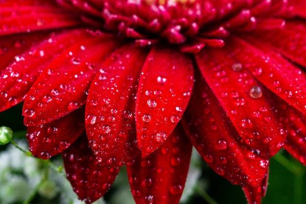 Red gerbera in drops of dew