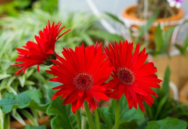 Red gerbera flower blossom.
