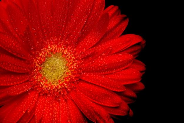 Red gerbera flower closeup on black background