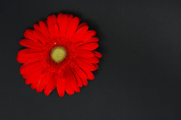 Red gerbera flower on dark table
