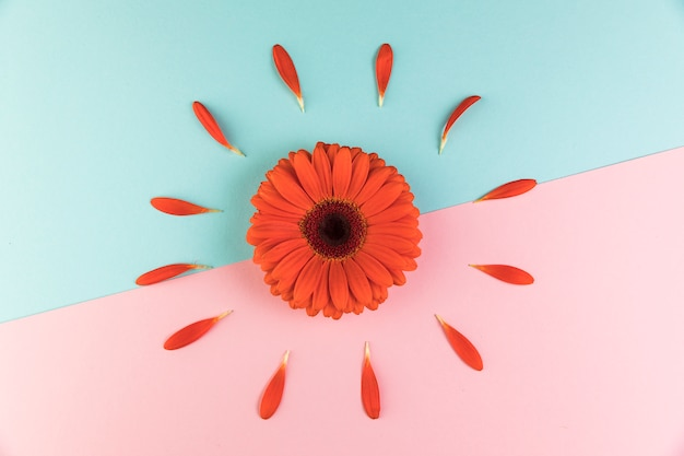 Red gerbera flower on dual pink and blue background