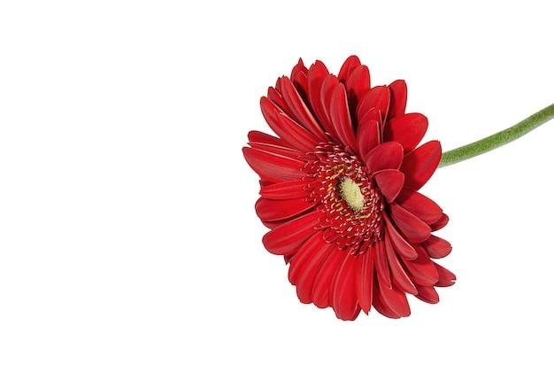 白い背景で隔離の赤いガーベラの花