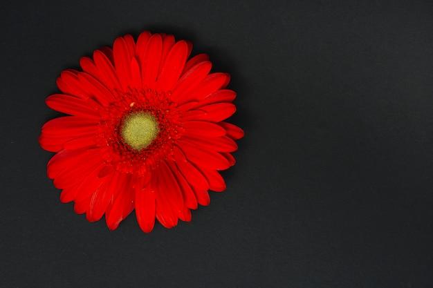暗いテーブルの上の赤いガーベラの花