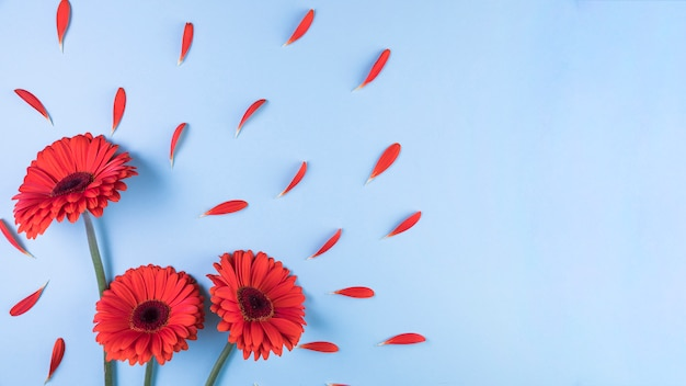 Red gerbera flower with petals on blue background