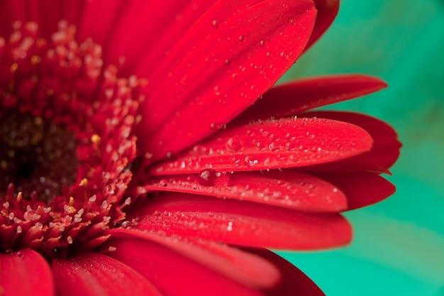 Красный цветок герберы с каплями воды. красная маргаритка макроса с каплями воды на лепестках на зеленом фоне