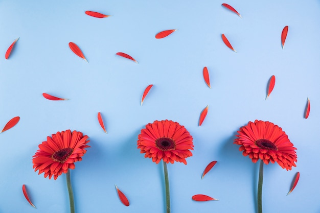 Red gerbera flowers with petals on blue background
