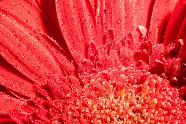Red gerbera macro
