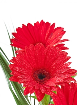 Red gerberas close up