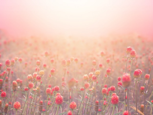 Red globe amaranth field in fog at sunrise morning.