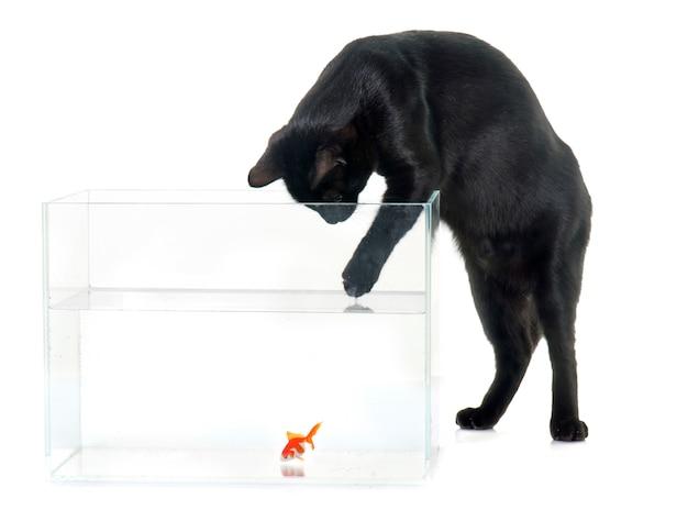 Red goldfish and black cat