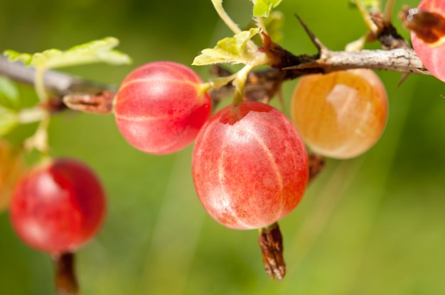 Red gooseberry on a branch close-up.