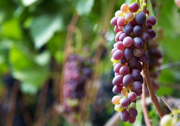 포도밭에서 와인을 재배하는 붉은 포도. 가을에 음식과 포도 나무에 대한 자연에서 잘 익은 포도 과일 수확. 공간을 복사하십시오.