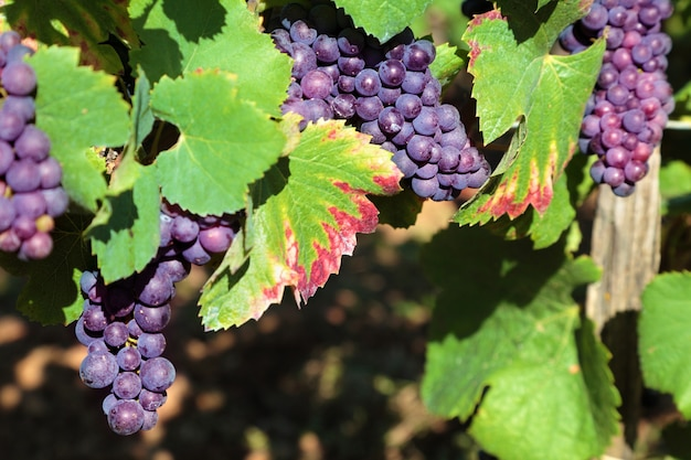 Red grapes growing in a vineyard