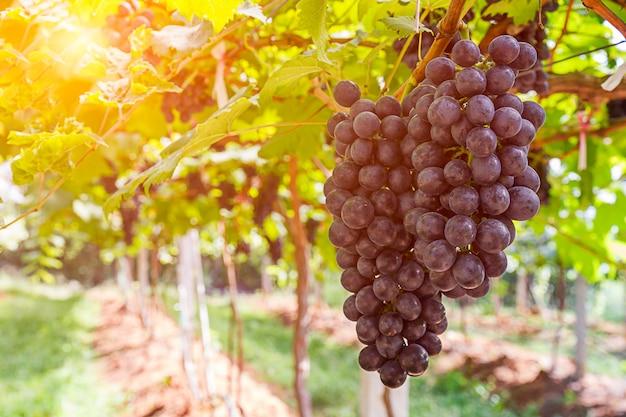 Красный виноград в винограднике, готовый к уборке урожая