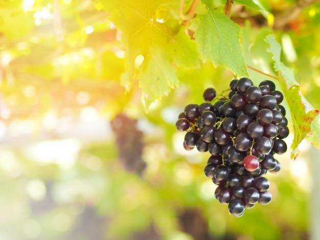 Red grapes in organic vineyard