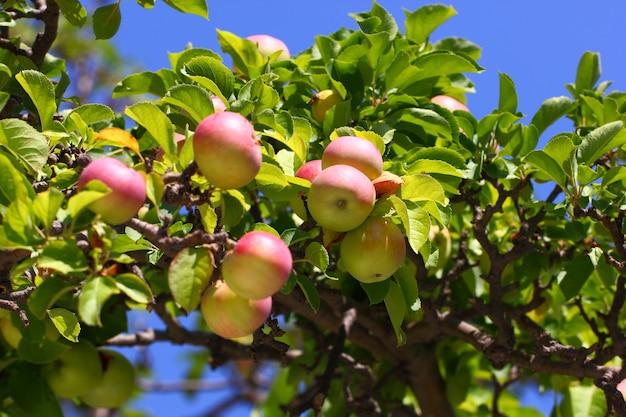 Красно-зеленые яблоки висят спелыми на ветке дерева среди листьев. эффект боке.