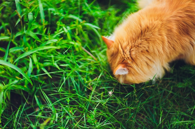 Red green-eyed cat resting on the green grass.