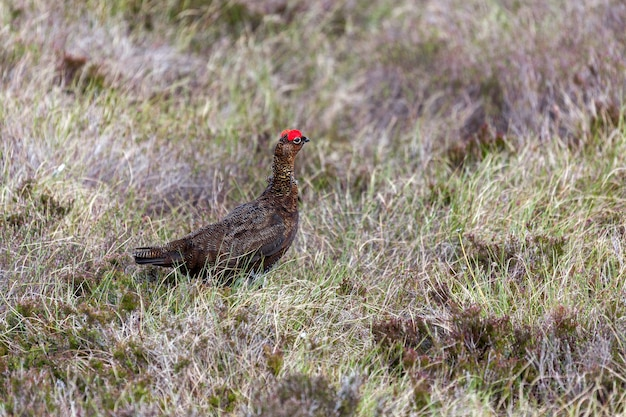 Red grouse (lagopus lagopus)