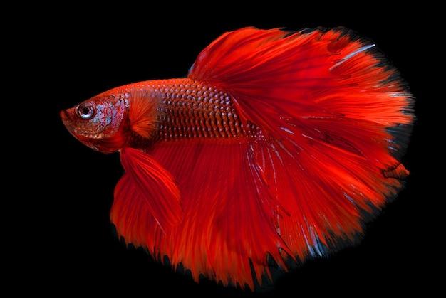 플래시 스튜디오 조명에서 레드 하프 문 긴 꼬리 베타 물고기 또는 샴 싸우는 물고기 사진.