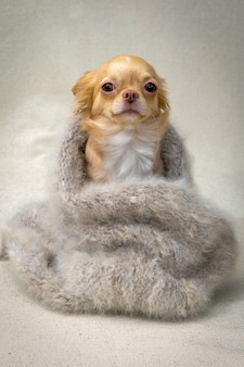 A red-haired chihuahua dog sits wrapped in a fluffy gray shawl, vertical portrait.