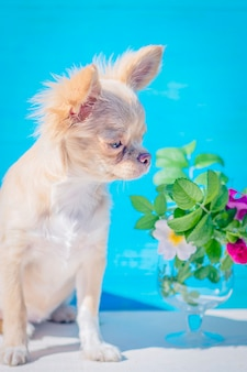 Red-haired chihuahua puppy close-up. bouquet of rose hips in a glass goblet