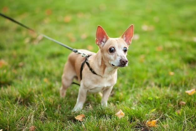 Рыжая собака чихуахуа гуляет в общественном парке осенью на поводке. гладкая собака чихуахуа на прогулке. прогулка с собакой. собака с широко раскрытыми глазами выглядит испуганной и удивленной. концепция домашних животных и ответственности
