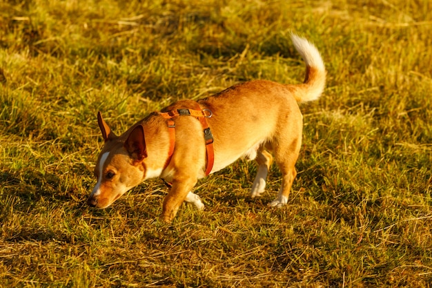 Рыжая собака на открытом воздухе летом на закате