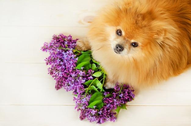 ライラックの花束と赤毛の生姜ポメラニアンスピッツ Premium写真
