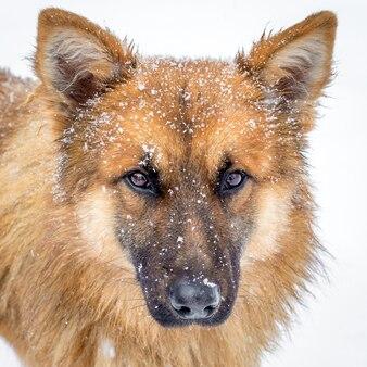 白い背景の上の雪の中で赤い髪の毛むくじゃらの犬_